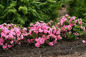 Bloom-A-Thon® Pink Double Rhododendron traditional-landscape