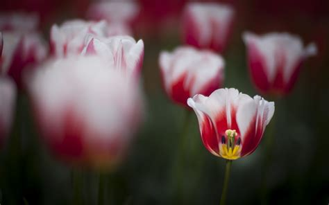tulips flowers wallpapers full hd