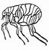 Flea Coloring Animals sketch template