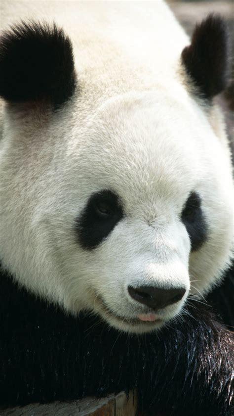 panda iphone     iphone  wallpapers