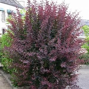 Arbuste Persistant Haie : berb ris de thumberg 39 atropurpurea 39 plantes et jardins ~ Premium-room.com Idées de Décoration