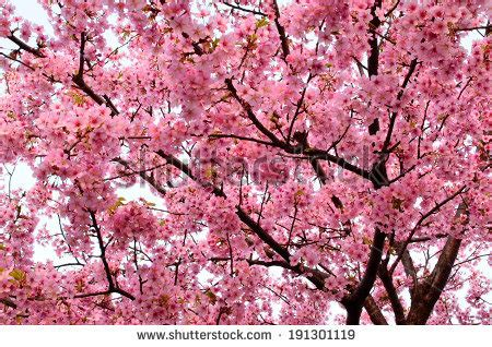 cherry blossom scientific name cherry blossom scientific name cerasus yedoensis background full of pink cherry flowers