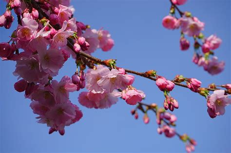 Free photo: japanese cherry trees flowers pink branch