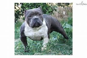 American Pit Bull Terrier puppy for sale near Orange ...