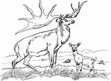 Deer Buck Drawing Coloring Pages Whitetail Adults Getdrawings sketch template