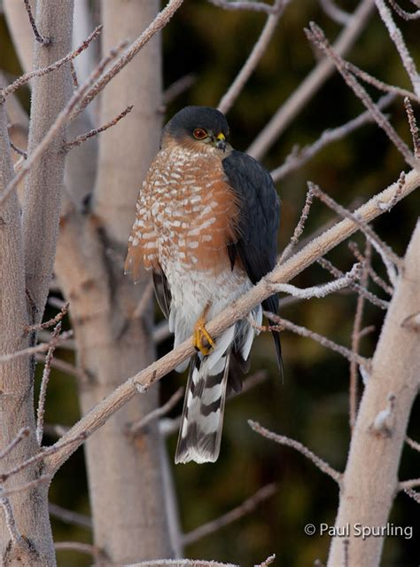 sharp shinned hawk accipiter striatus in explore raptors