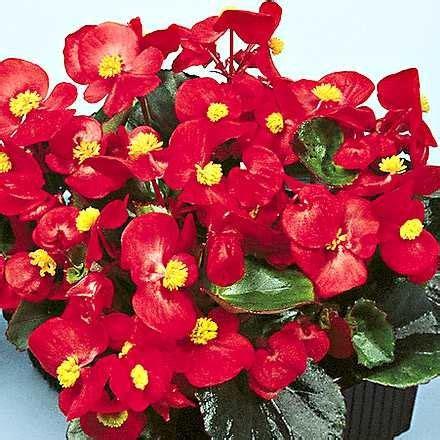 fiori begonie 187 vendita e coltivazione begonia