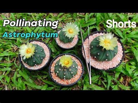 วิธีผสมเกสรแอสโตรไฟตัมให้ติด ทำง่ายๆแบบนี้ How To Pollinate Astrophytum ในปี 2021 | การปลูกพืช ...