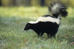 What Do I Do if My Pet or I Get Sprayed by a Skunk?