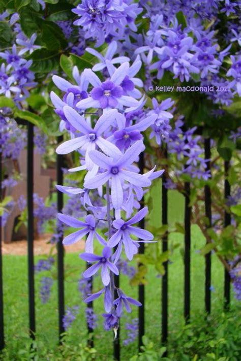 vine plant with purple flowers queen s wreath bluebird vine sandpaper vine petrea volubilis divine exterior design