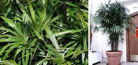 Palmeira-ráfia: dicas de como plantar no vaso e cuidados ...