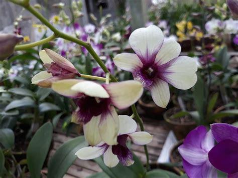 jual bibit tanaman hias bunga anggrek dendrobium hybrid