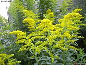 Plantes Vivaces Jaunes La Pilounette
