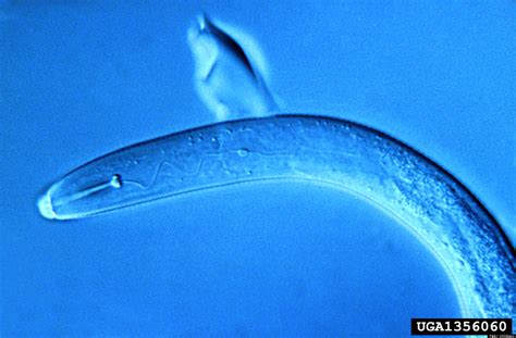How Do Skin-Penetrating Nematodes Find Your Feet as You ...