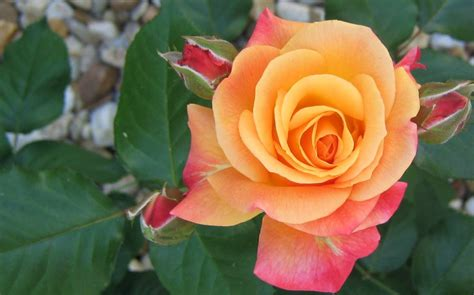Beautiful Orange Roses Wallpapers by Beautiful Orange Wallpaperhttp My143rose