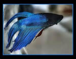 Blue Betta Fish Pet