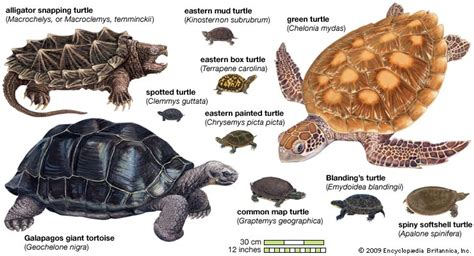 Species, Classification, & Facts