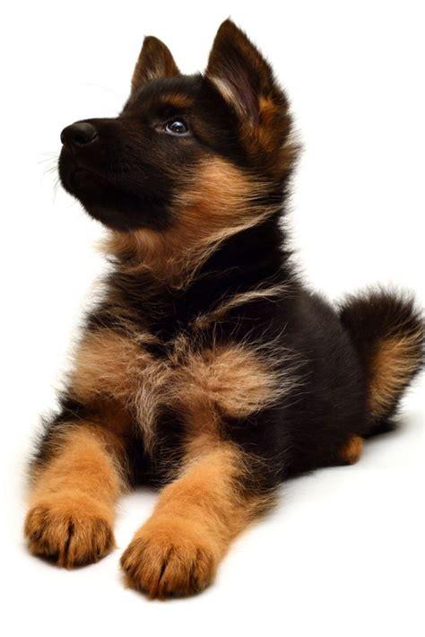 beautiful puppy   german shepherd isolated