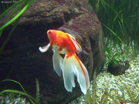 poisson voile de chine aquarium voile de chine parc zoologique et botanique de stuttgart les galeries photo de plantes de