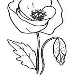 lovely poppy drawing coloring page color luna