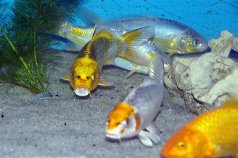 carpe koi butterfly  cm poissons eau froide