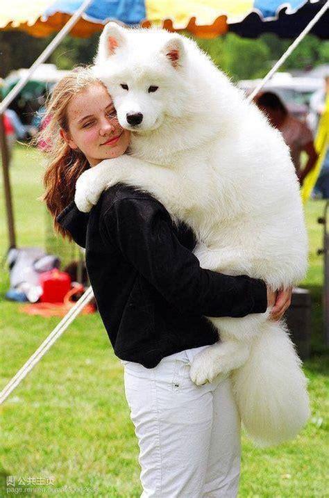 52 Best Breed Love ♥ Samoyed Images On Pinterest Cutest