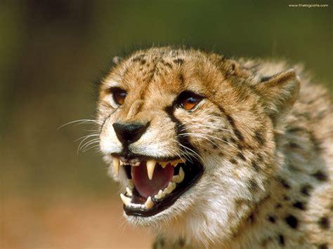cheetah animals wiki pictures stories