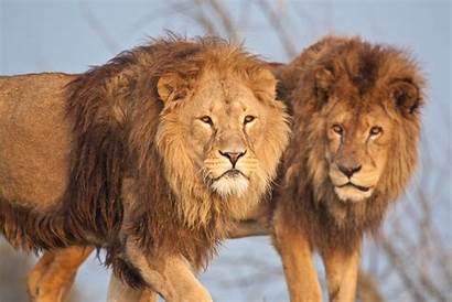 Animals Nature Wildlife Lion Desktop Wallpapers Backgrounds