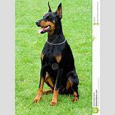 Brown Doberman Dog | 957 x 1300 jpeg 484kB