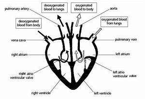 Schematic Diagram Of Heart Structure