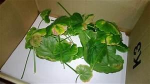 Geranien Gelbe Blätter : pelargonie bekommt andauernd braune bl tter pflanzenkrankheiten sch dlinge green24 hilfe ~ Orissabook.com Haus und Dekorationen