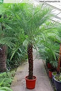 Palme Für Drinnen : palme f r balkon balkon palme hauptdesign pflegeleichte yucca die beliebteste palme f r ~ Sanjose-hotels-ca.com Haus und Dekorationen
