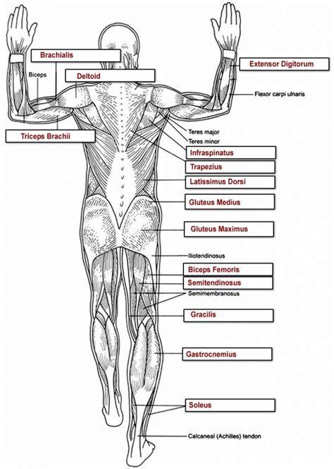 Muscle Anatomy Worksheet  Human Anatomy Diagram