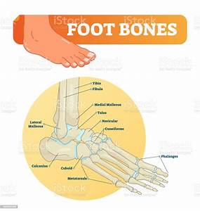 Vector Illustration With Foot Bones Medical Diagram With
