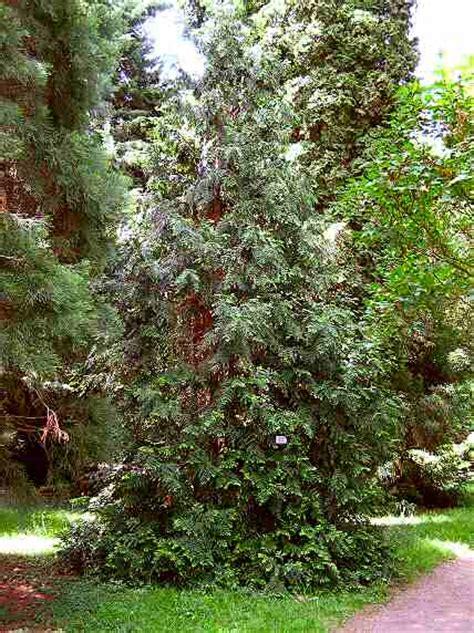 Japanischer Garten Heidelberg by Japanese Quot Hiba Quot Tree For Kite Building Der Japanische