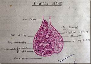 Histology Slides Database  Pituitary Gland High Resolution