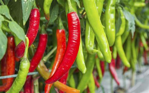 Würze Im Garten Chili Pflanzen