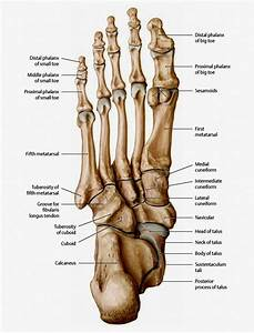 The Bones In The Foot  Inferior View  Picture Illustrated