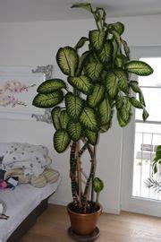 Große Zimmerpflanzen Günstig by Grosse Zimmerpflanzen Pflanzen Garten G 252 Nstige