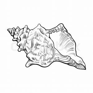 Spiral conch sea shell, sketch style vector illustration ...