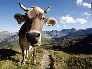 Kuh Bilder Auf Leinwand : das gebiss einer kuh sendungen srf ~ Whattoseeinmadrid.com Haus und Dekorationen