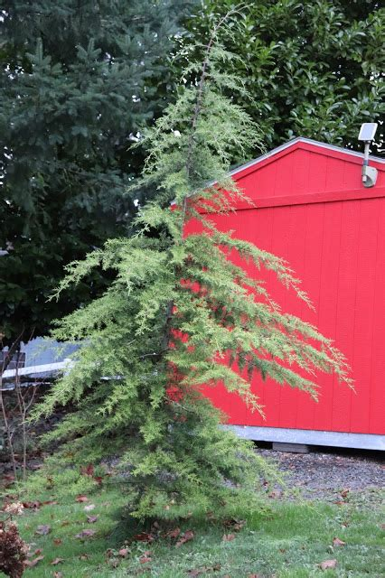 shrubs evergreen containers coniferous trees