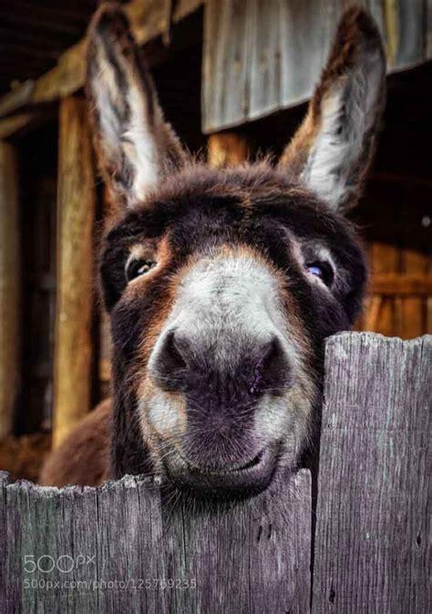 images  donkeys burros mules  pinterest