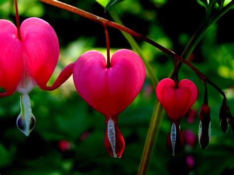 Tränendes Herz Im Kübel by Tr 228 Nendes Herz Foto Bild Pflanzen Pilze Flechten