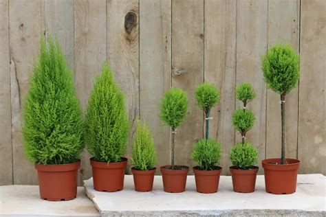 out door ribbon spursl trees live topiary trees plants artificial outdoor topiary