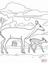 Deer Coloring Pages Baby Mother Tail Tailed Printable Doe Print Bucks Animal Fawn Deers Cute Adult Supercoloring Buck Drawing Animals sketch template