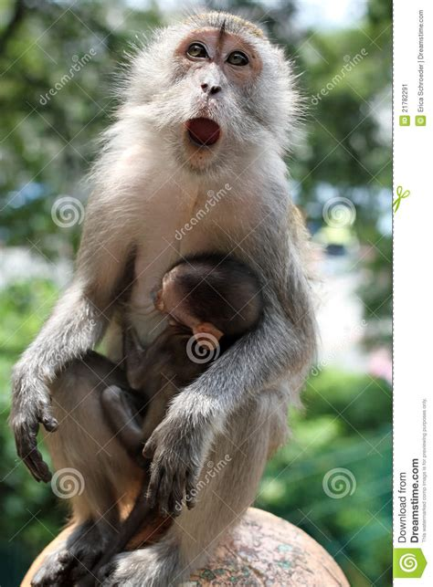 mother monkey  baby monkey  arms stock image image  open cleaning