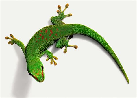 what kind of care do day geckos need