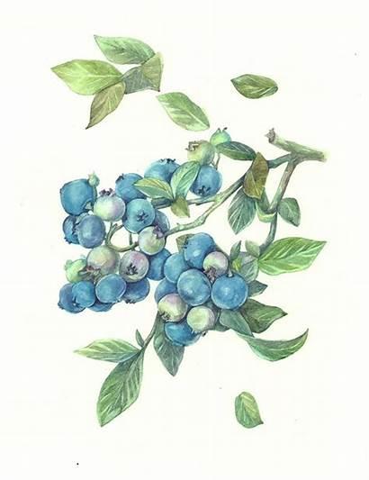 Watercolor Botanical Illustration Drawing Blueberries Fruit Behance