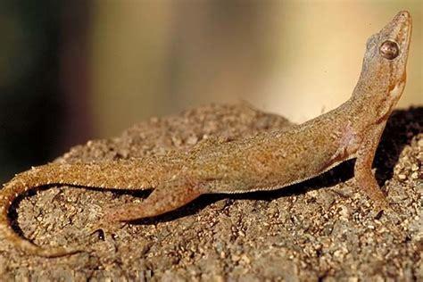 house gecko house gecko